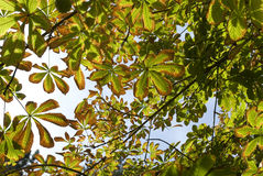 Fall - beauty of leaves chestnut tree Royalty Free Stock Photography