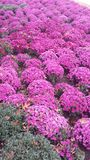 Fall Beauty Pink mums Royalty Free Stock Photo