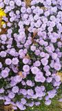 Fall Beauty Purple mums Stock Image