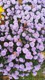 Fall Beauty Purple mums Stock Image
