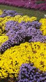 Fall Beauty purple and yellow mums Royalty Free Stock Photo