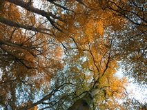 Fall beech trees in beautiful autumn colors looking upwards. With blue sky Stock Photography