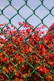 Fall behind the fence. A beautiful plant showing great fall color behind this plastic covered wire chain link fence stock photography