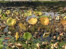 Water Lilly. Fall Beijing park leaves fun green beautiful lovely great love live life Royalty Free Stock Image