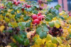 Fall Berries. A red berried plant losing its leaves in late autumn Stock Photography