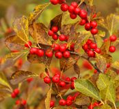Fall berries. Tree Quebec province Canada royalty free stock photo