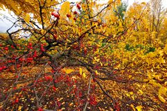 Fall berries. Tree Quebec province Canada stock image