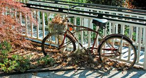 Fall Bike. An old bicycle used as a garden decorations with fall leaves in basket and on the ground stock photos