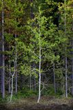 Fall Birch Aspen Tree in Forrest Wilderness royalty free stock photos