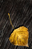 Fall Birch Leaf Stock Photography