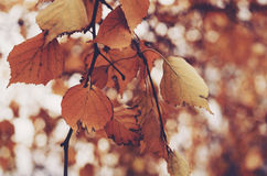 Fall birch leaves background Stock Images