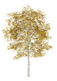 Fall birch tree isolated on white Royalty Free Stock Images