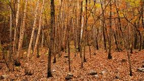 Fall Birch Trees Stock Photos