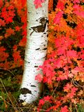 Fall Birch Trees with Autumn Leaves in Background Stock Image