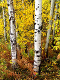 Fall Birch Trees with Autumn Leaves in Background Stock Photography