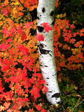 Fall Birch Trees with Autumn Leaves in Background Stock Photos