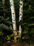Fall Birch Trees with Autumn Leaves in Background Royalty Free Stock Images