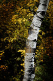 Fall Birch Trees with Autumn Leaves in Background Stock Photo