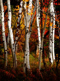 Fall Birch Trees. White fall birch trees with autumn leaves in background Stock Photography