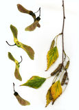 Fall birch twig. Leaves,maple wings and birch twig on the white background Royalty Free Stock Photos