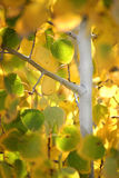 Fall-Birken-Blätter Lizenzfreie Stockbilder