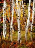 Fall-Birken-Bäume Stockfoto