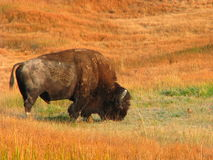 Fall Bison Stock Photography