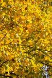 Fall-Blätter auf einem Ahornholz-Baum Stockfoto