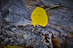 Fall-Blätter in COLORADO-Berg Lizenzfreie Stockfotos