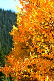 Fall-Blätter in COLORADO-Berg Stockfotos