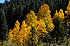 Fall-Blätter in COLORADO-Berg Stockfoto