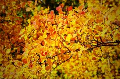 Fall-Blätter in COLORADO-Berg Stockfotografie