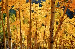 Fall-Blätter in COLORADO-Berg Stockbilder