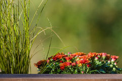 Fall blooming chrysanthemum in a planter Stock Photo