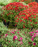 Fall blooming chrysanthemums in bloom. Blooming fall chrysanthemum plants with flowers and buds Stock Images