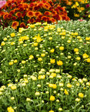 Fall blooming chrysanthemums in bloom. Blooming fall chrysanthemum plants with flowers and buds Stock Photos