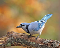 Fall Blue Jay. A blue jay (Cyanocitta cristata) perching on a branch in Fall Stock Photo