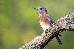 Fall Bluebird stock photography
