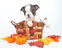Fall Boston Puppy Stock Photography