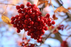Fall. Branch of ashberry Stock Image