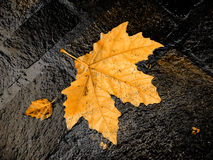 Fall bright wet leaf. Of sycamore Royalty Free Stock Photography