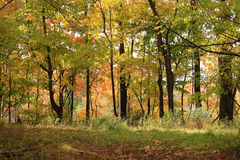 Fall Brilliance. Brilliant and colorful fall tree foliage in the park Royalty Free Stock Photo