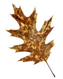 Fall. Brown Oak Leaf in the Autumn Stock Photography