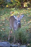 Fall buck. Whitetail spike buck on grass in autumn royalty free stock photography