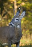 Fall buck. Whitetail buck in front of a yellow autumn forest royalty free stock photography