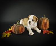 Fall Bulldog Puppy Royalty Free Stock Photo