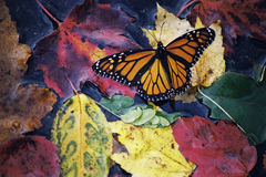 Fall Butterfly. Leaves Color Monarch Stock Images