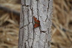 Fall butterfly. Monarch butterfly resting on a tree during the fall Royalty Free Stock Image