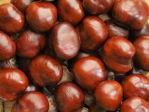 Fall came and chestnuts feld from tree. Brown polished cover stock image
