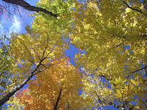 Fall canopy. Looking up a maple forest in fall royalty free stock photos